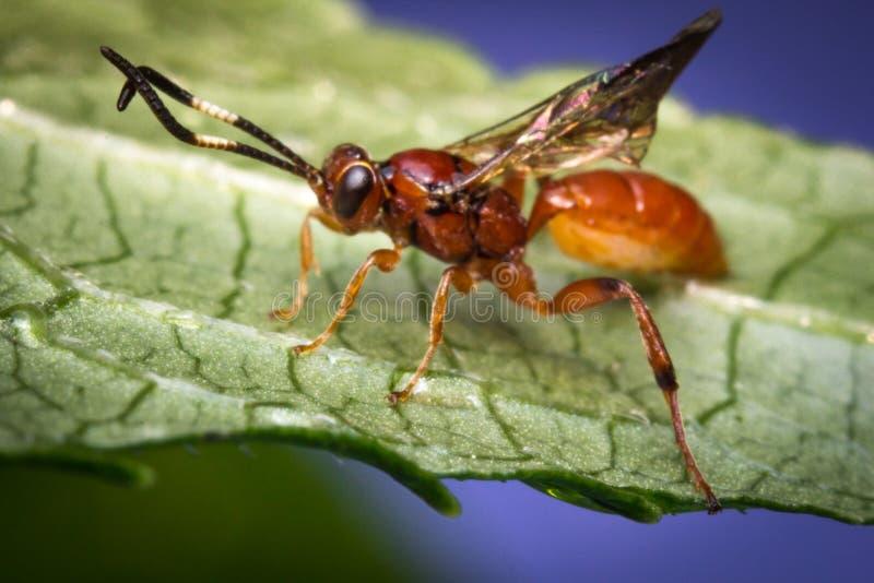 Mycket liten begynnande Ichneumon Wasp arkivbild