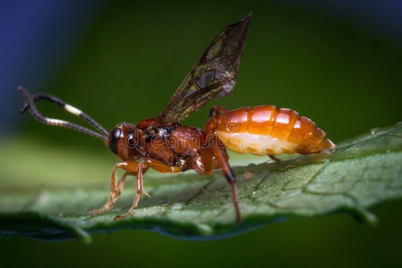 Mycket liten begynnande Ichneumon Wasp royaltyfria bilder