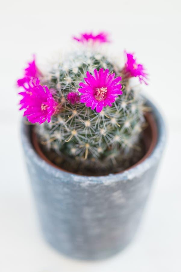 Mycket liten blommande kaktus i krukan royaltyfri foto