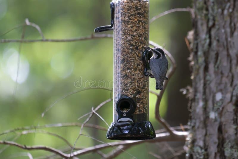 Mycket liten fågel på en förlagematare i en skog arkivbild