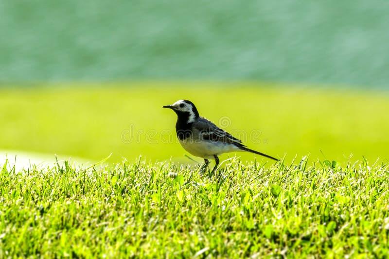 Mycket liten fågel på gräset royaltyfria foton