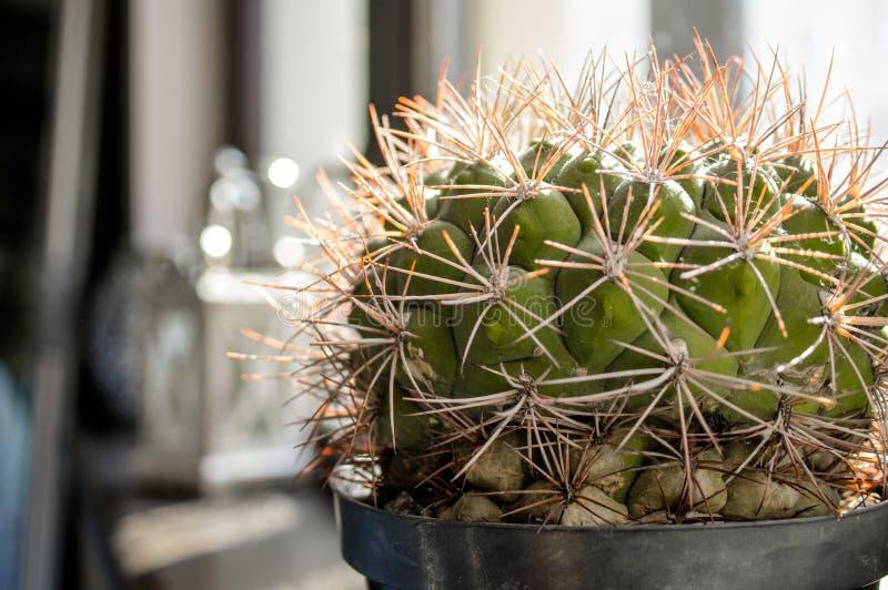 Mycket liten grön liten kaktus på fönstret arkivfoton