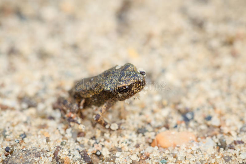 Mycket liten groda på sand fotografering för bildbyråer