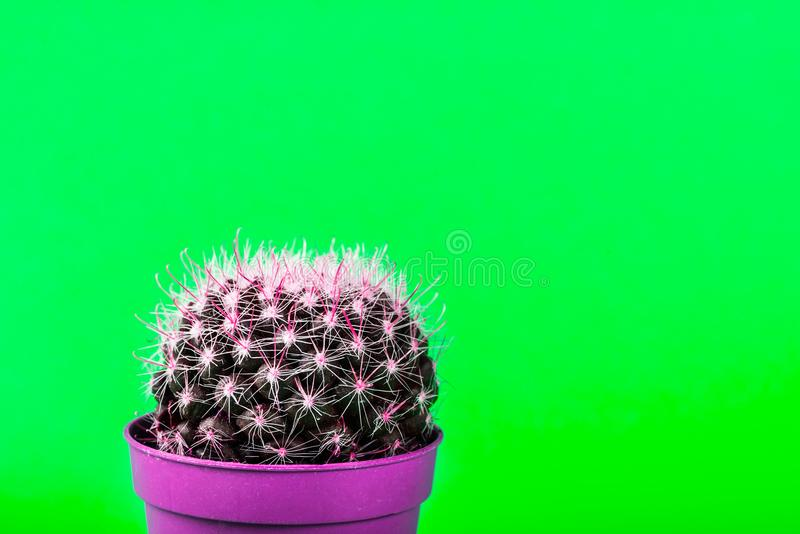 Mycket liten kaktus i krukan på ljus neonbakgrund Genomdränkta Imag arkivfoto