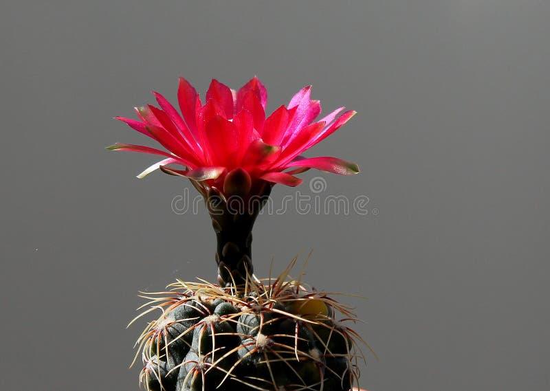 Mycket liten kaktus, mycket stor blomma arkivbilder