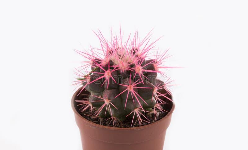 Mycket liten kaktus, växt arkivbild