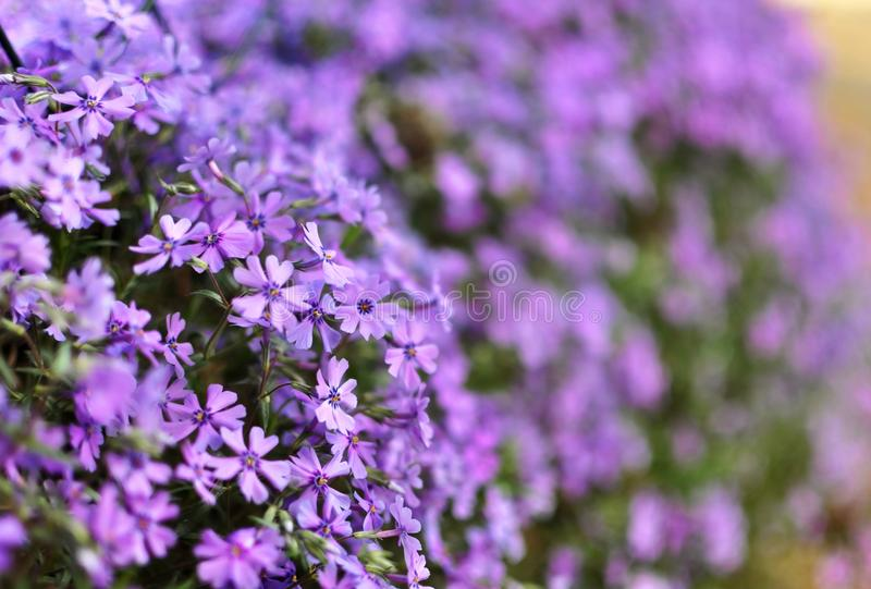 Mycket liten lila blommar med suddig bakgrund arkivbild
