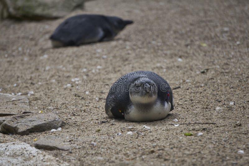 Mycket liten pingvin som framlänges lägger på sandig yttersida royaltyfri fotografi