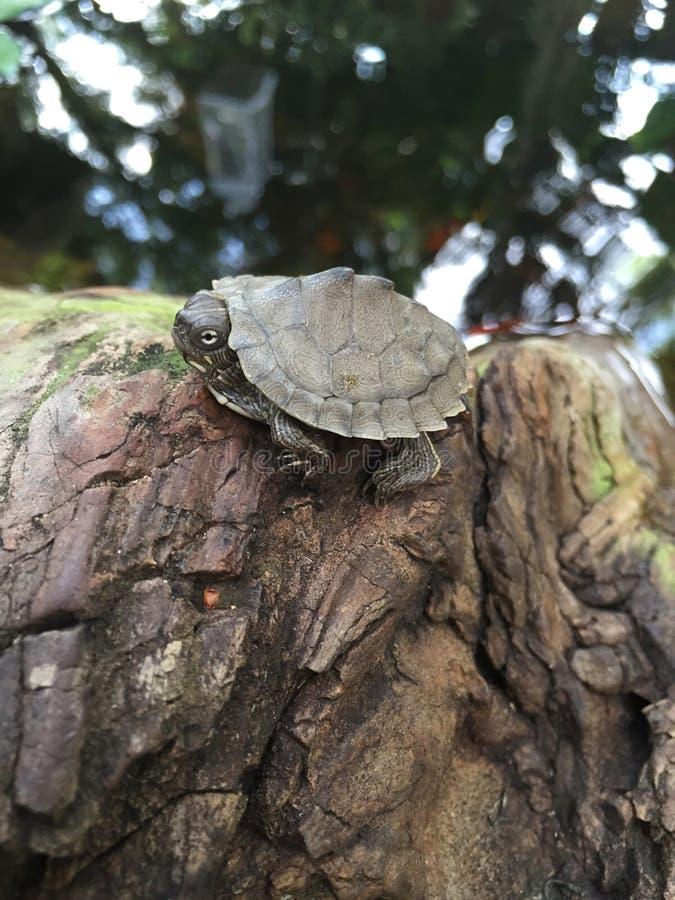 Mycket liten sköldpadda arkivbilder