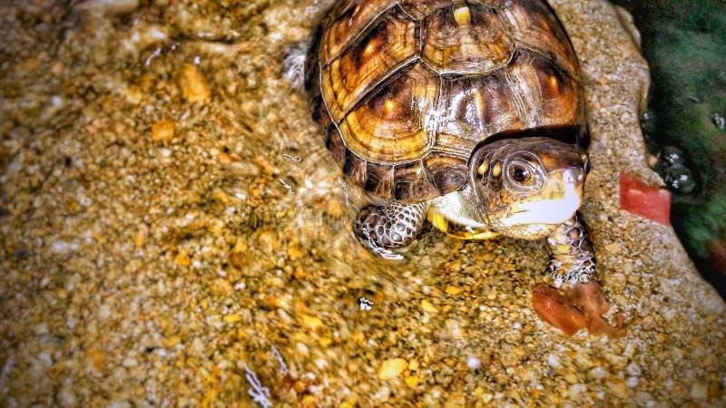 Mycket liten sköldpadda royaltyfri fotografi