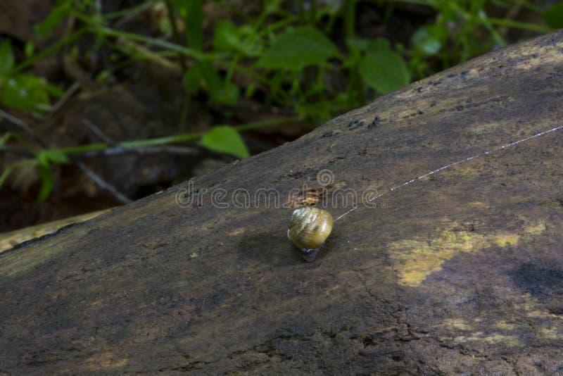Mycket liten snigel på inloggningsskog royaltyfria foton