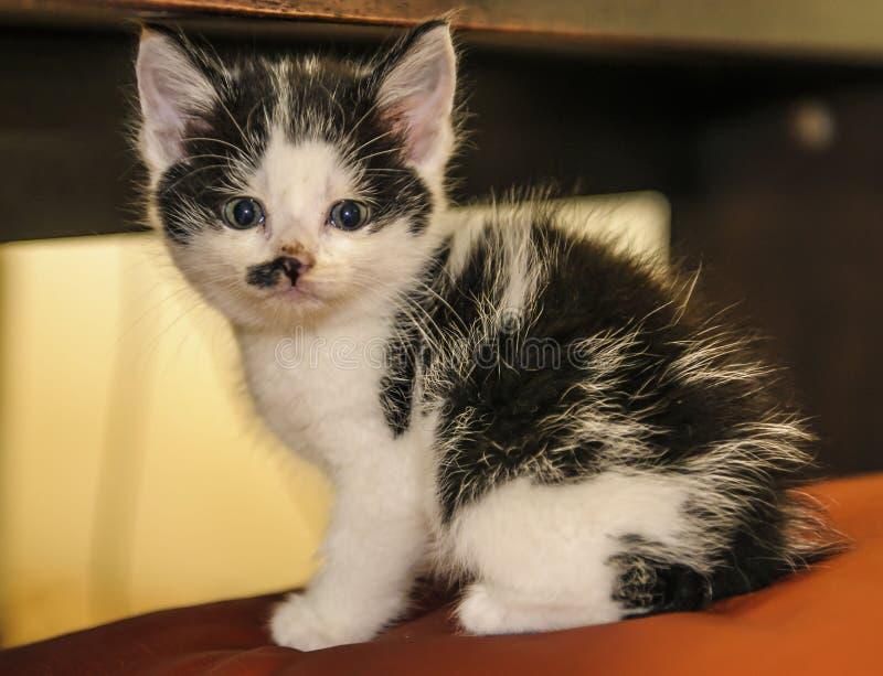 Mycket liten svartvit kattunge, royaltyfria foton