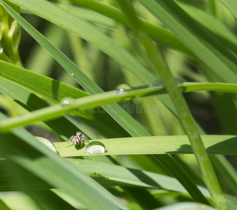 Mycket liten svartvit sebraspindel arkivfoton