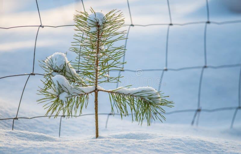 Mycket liten ung sörjer trädet royaltyfri fotografi