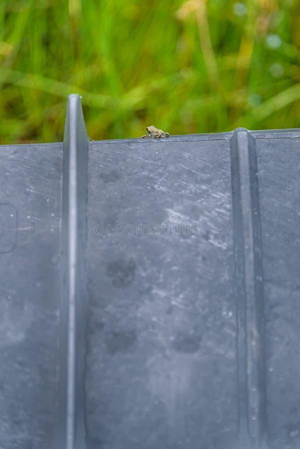 Mycket liten ung västra padda på en skyddande kulvert på Lost sjöstranden, att hjälpa paddaflyttningen från sjön till den alpina  royaltyfri foto