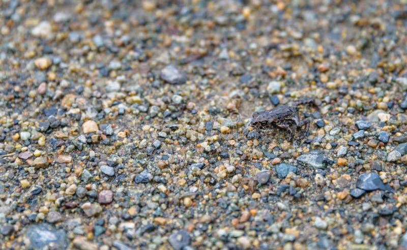 Mycket liten ung västra padda som vandrar över den borttappade sjöstranden till den alpina skogen, Whistler, British Columbia, Ka arkivfoton