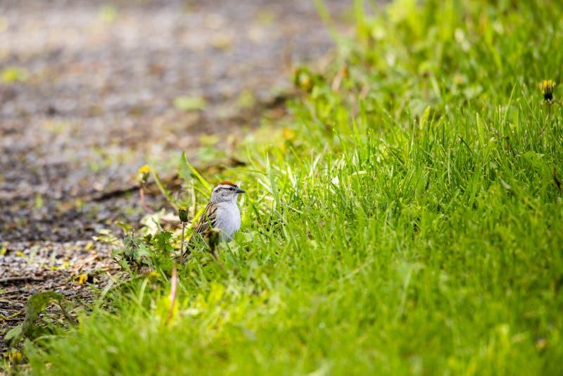 Mycket liten vuxen östlig gå i flisor sparv som ses i profil, i att föda upp fjäderdräkt som står på jordningen arkivbilder