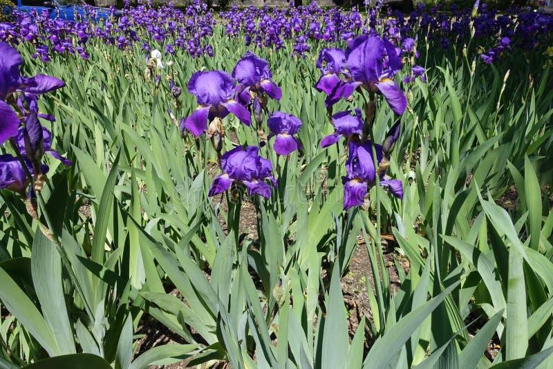 Mycket ljusa violetta iriers för blomning royaltyfri fotografi