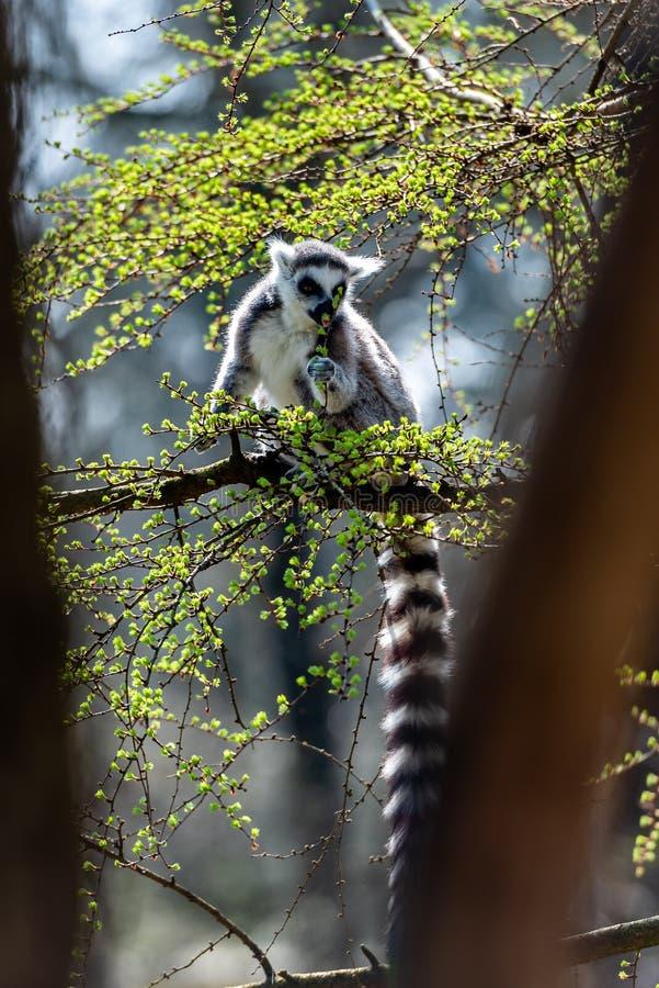 Mycket makicatta i ett träd royaltyfria bilder