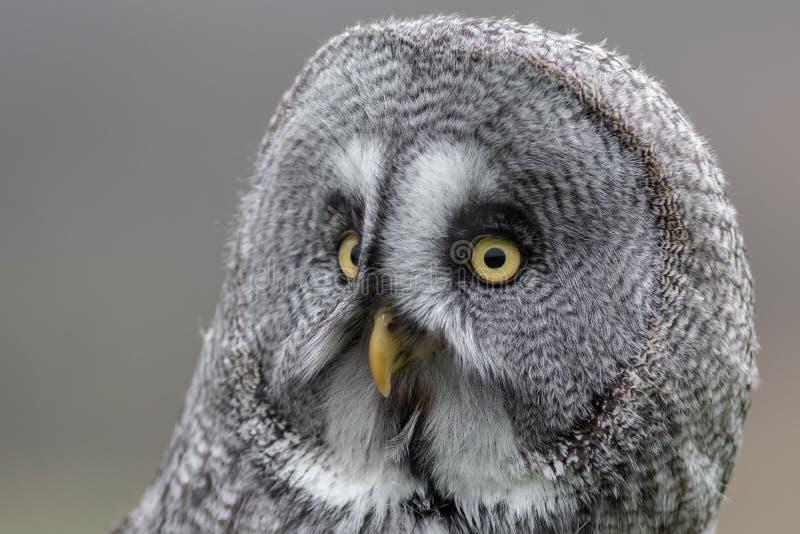 Mycket nära stående av en stor grå uggla fotografering för bildbyråer