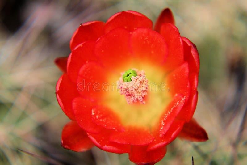 Mycket nära upp konungen Cactus Bloom arkivfoton