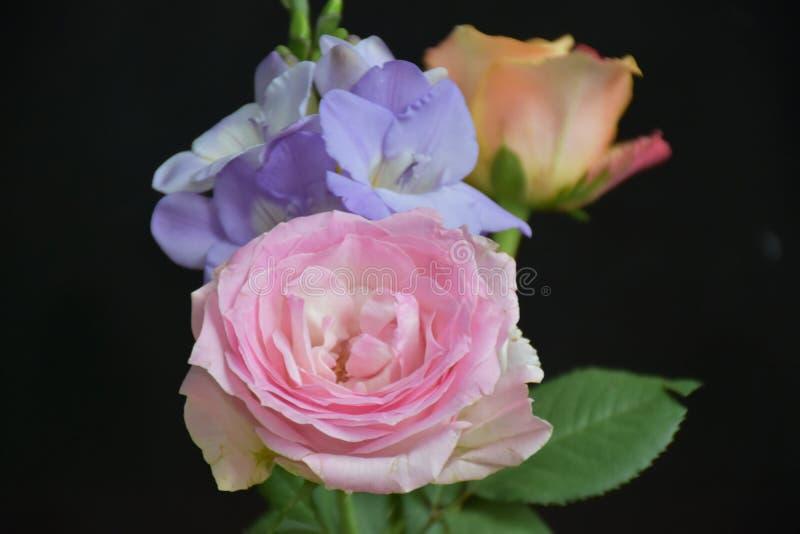 Mycket nätt färgrik freesia och rosein solskenet arkivbild