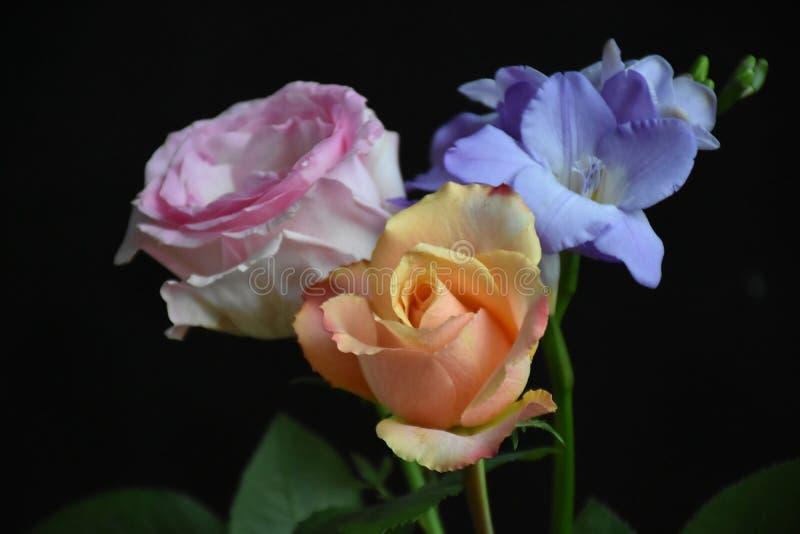 Mycket nätt färgrik freesia och rosein solskenet royaltyfri fotografi