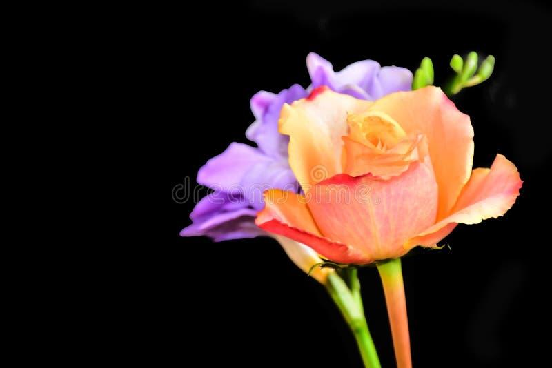 Mycket nätt färgrik freesia och rosein solskenet arkivfoton