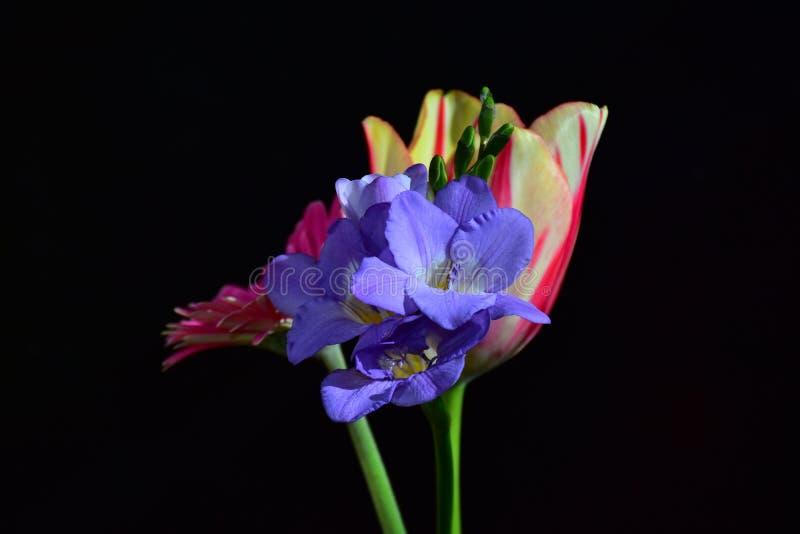 Mycket nätt färgrik gerber, tulpan och freesia i solskenet arkivbild