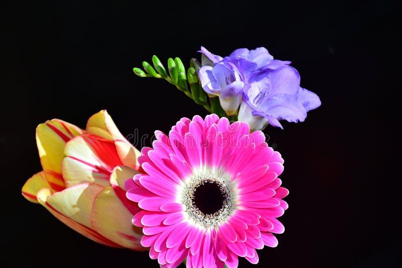 Mycket nätt färgrik gerber, tulpan och freesia i solskenet fotografering för bildbyråer