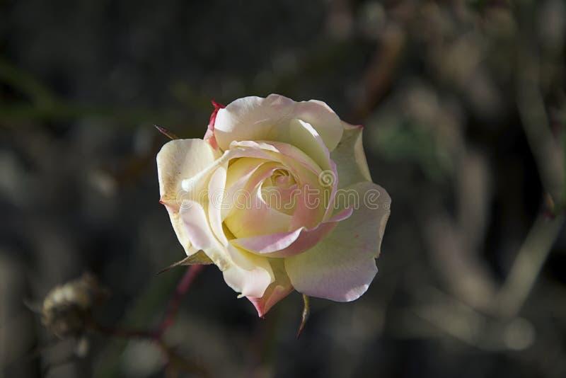 Mycket nätt färgrik ros i december i min trädgård arkivfoto