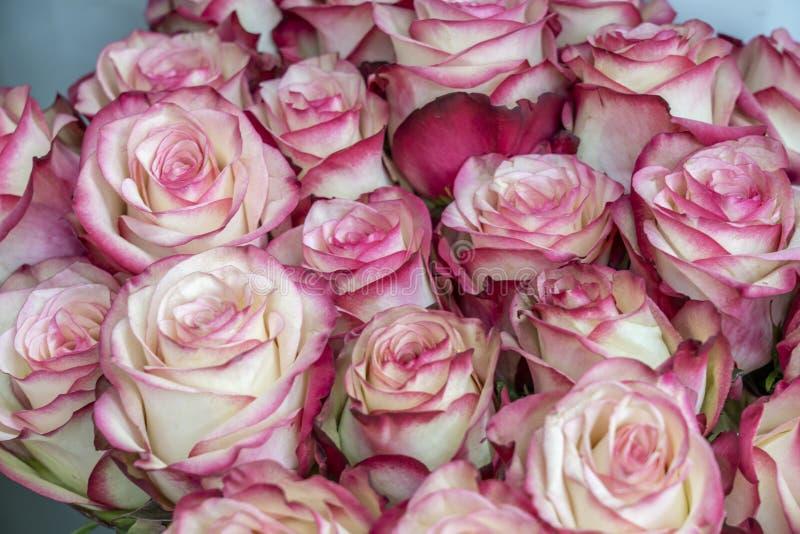 Mycket rosa blommor med den delikata vita closeupen för körsbärsröd blomning för kant arkivfoton