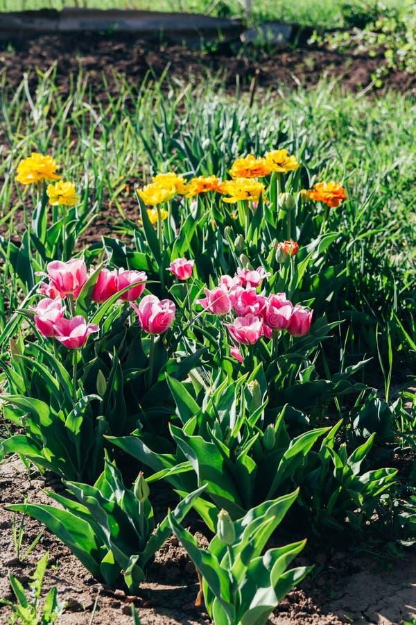 Mycket rosa och apelsin, gula tulpan växer i jordningen i trädgården, på en rabatt arbeta i trädgården täta blommor för Cherry tu royaltyfri fotografi