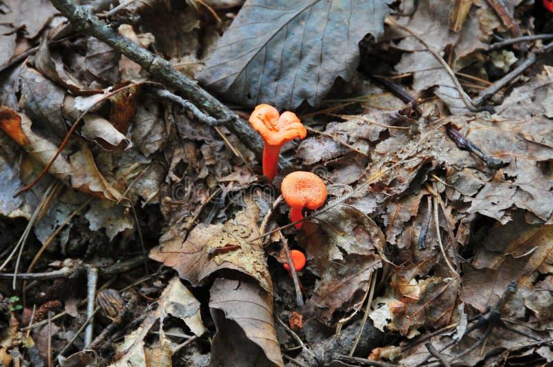 Mycket små apelsinchampinjoner kura ihop sig i en säng av sidaCantharellus c royaltyfria foton