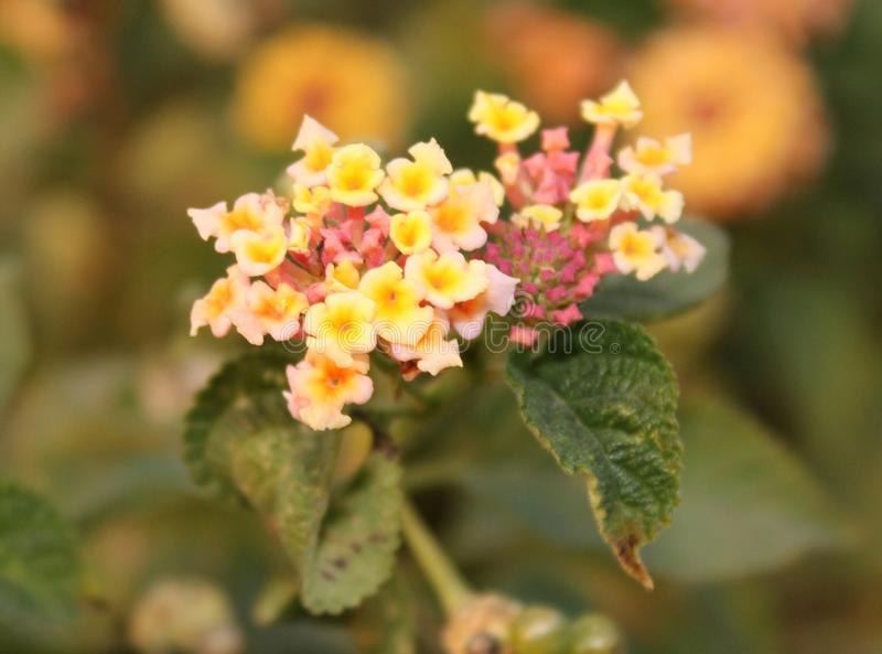 Mycket små blommor för Lantana från Himalayas royaltyfria foton