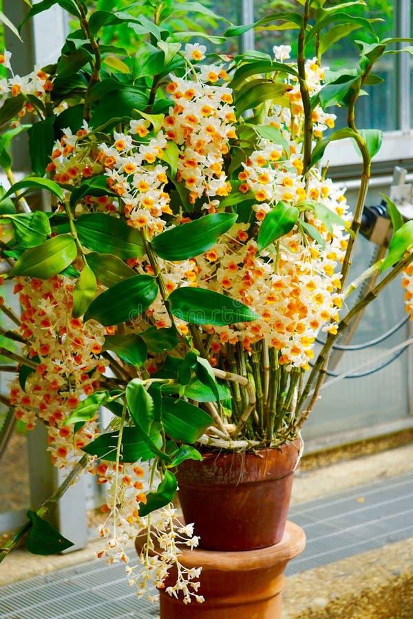 Mycket små delikata vita orange orkidéblommor royaltyfria bilder