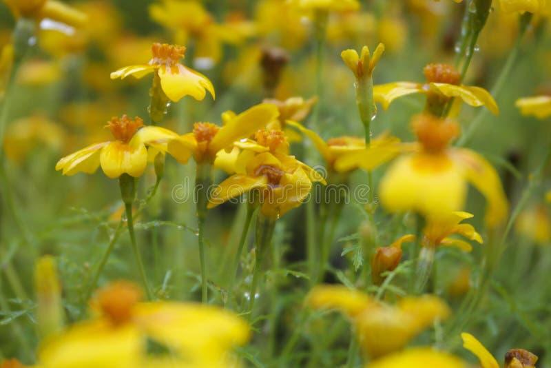 Mycket små gula ängblommor royaltyfri foto