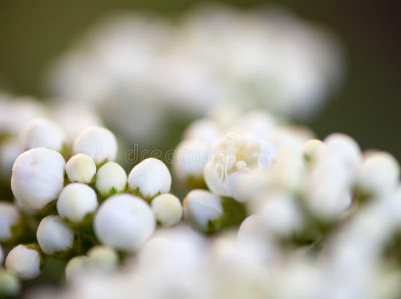 Mycket små knoppar av vita blommor för rönn arkivbilder