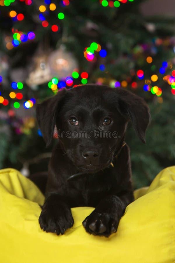 Mycket små labrador valpplatser under julgranen royaltyfria bilder