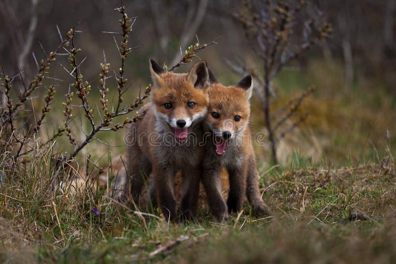 Mycket små rävar royaltyfri foto