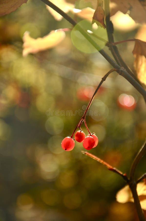 Mycket små röda tranbär i höst royaltyfri foto