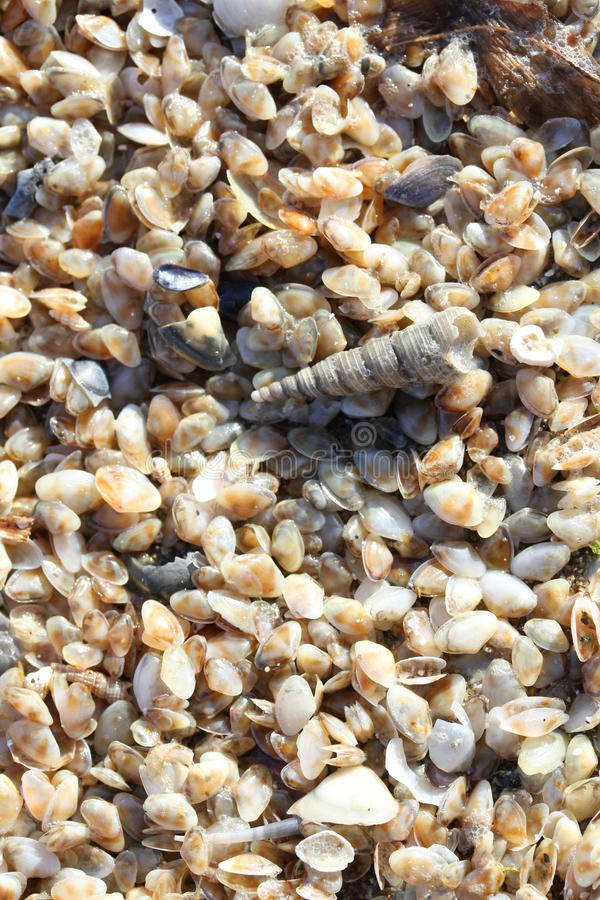 Mycket små tellineskal på havsstranden arkivfoton
