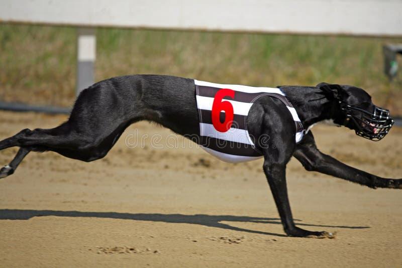 Mycket snabb vinthund som flyger över loppspår royaltyfri fotografi
