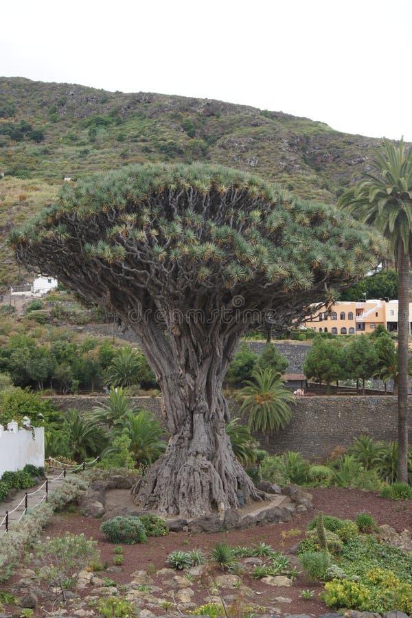 Mycket stort draketräd i Tenerife arkivbild