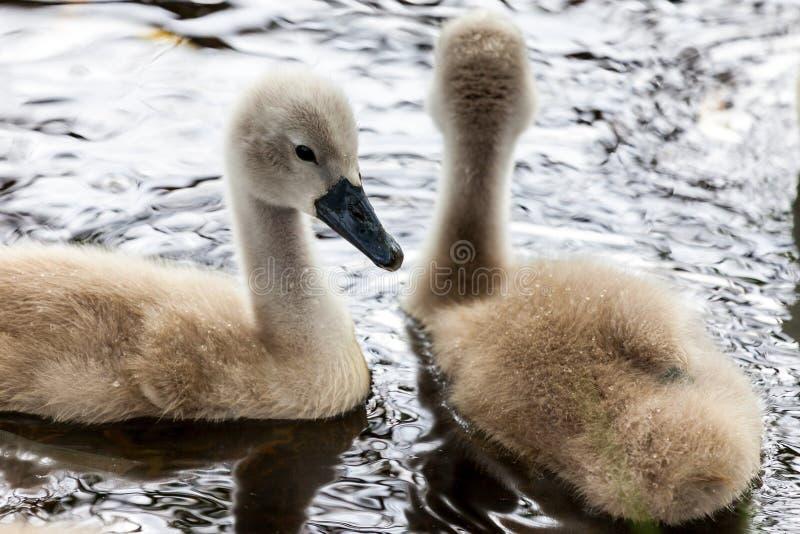 Mycket svanfågelungar simmar i en sjö fotografering för bildbyråer