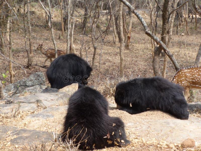 Mycket tätt knäpp av björnar arkivbilder