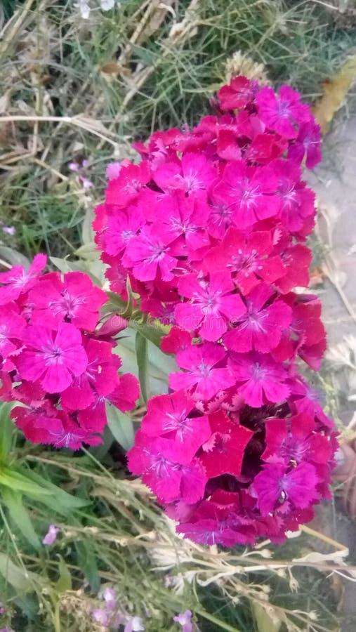 Mycket trevlig röd rosa grupp av blommor fotografering för bildbyråer