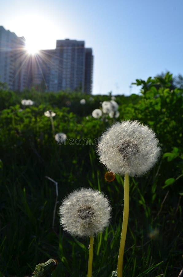 Mycket vita sommarmaskrosor i grönt gräs royaltyfri foto