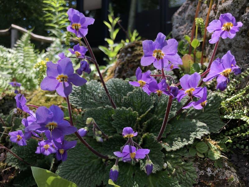 Myconi de Ramonda, el mullein Pirenáico-violeta o del rosetón - jardín botánico de la universidad de Zurich o de Botanischer Gart foto de archivo libre de regalías