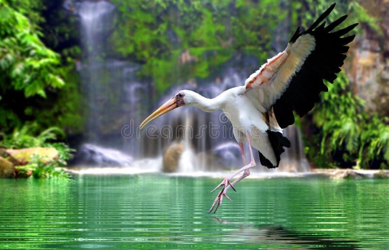 Mycteria在瀑布的鸟飞行 库存图片